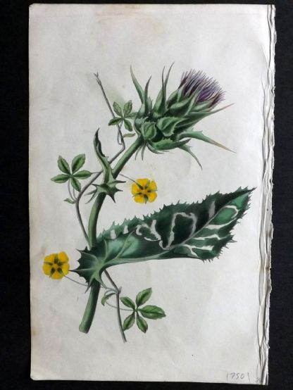 Twamley - Romance of Nature 1836 Hand Col Botanical Print. Holy Thistle, Creeping Cinque Foil 24